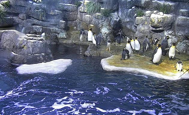 Moody Gardens Penguin Cam